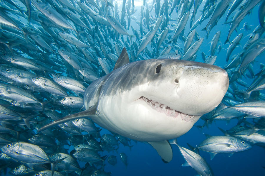 He is greater than this smiley great white shark